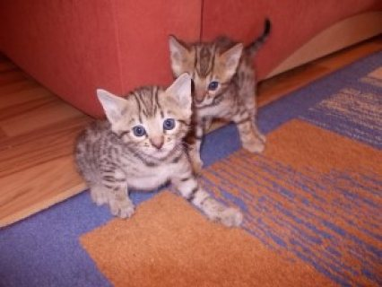 صور Adorable Bengal kittens for sale..... 1
