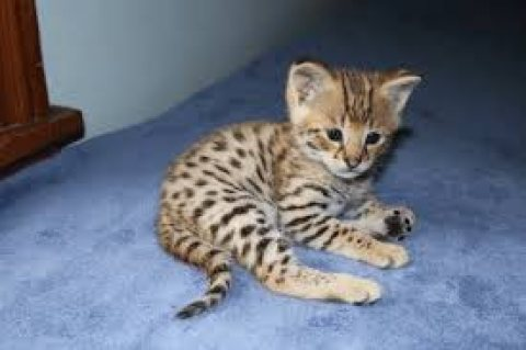 Lovely male and female Savannah Kittens for re-homing