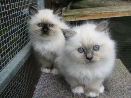 Birman kittens for sale.