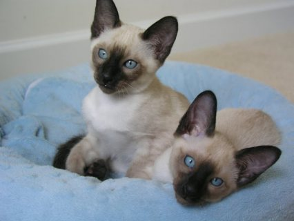 Cute Siamese kittens for sale.Male and female are ready