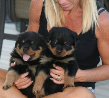 Excellent Rottweiler Puppies for Sale..,