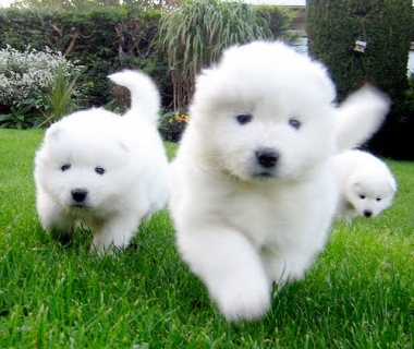 Adorable male and female Samoyed Pups for sale