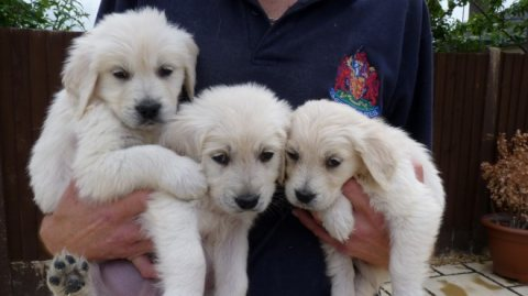 Cute Male and Female Golden Retriever Puppies For sale
