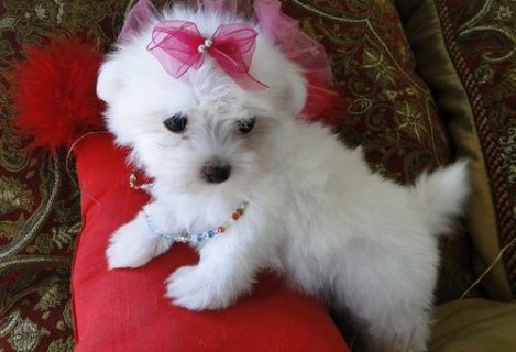 Pure breed White Teacup Maltese puppies Ready for sale