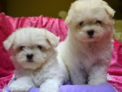 CUTE AND LOVELY MALTESE PUPPIES READY FOR ADOPTION...,,,,,.....