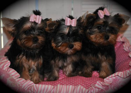 These precious little Yorkies are ready for their forever Home
