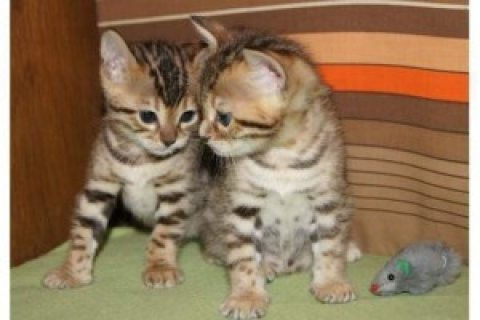 صور  Bengal Kittens for sale 1