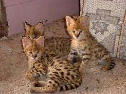 صور male and female beautiful Serval kittens for sale/..... 1