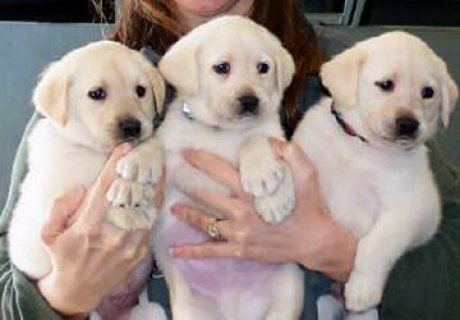 صور Cute male and female Labrador Puppies ready for sale. 1
