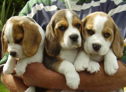 Beautiful Male and Female Beagle Puppies for sale