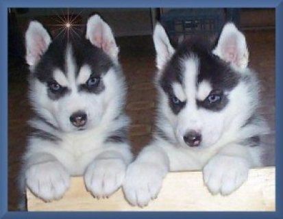Blue Eyes male and female Siberian Husky Puppies for sale...