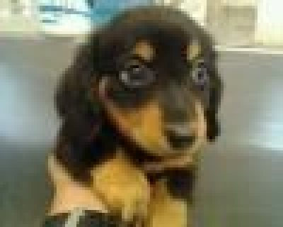 Dachshund males and females for sale