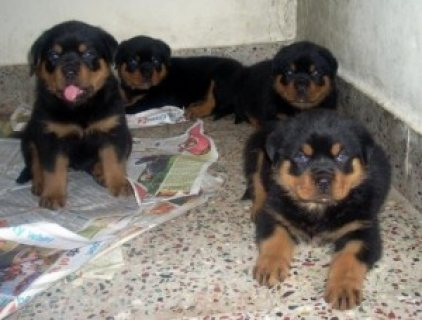 Purebred male and female Rottweilers for Sale.