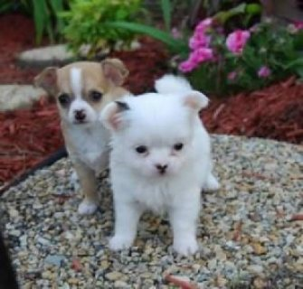 Cute male and female chihuahua puppies for sale
