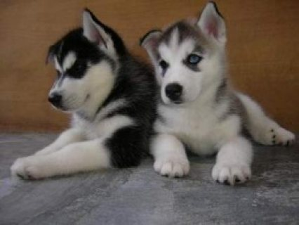 Playful Siberian Husky Puppies for sale