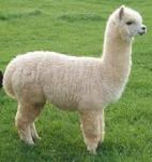 صور Healthy alpaca Ready to join a new family 1