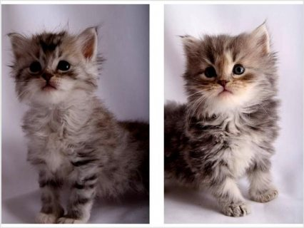 TICA registered hypo-Allergenic Siberian kittens