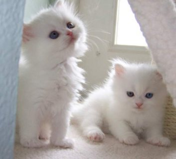 Cute Persian Kittens Currently Available