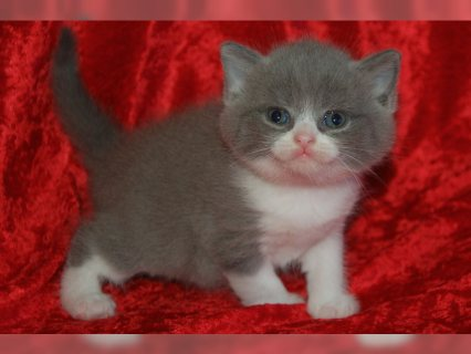 Pedigree British Shorthair Kittens