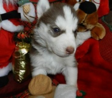 Lovely And Playful Two Blue Eyes Siberian Husky Pupies For New H