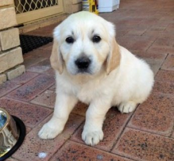 Very Affectionate female golden retriever puppy for adoption..//