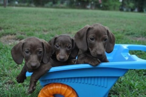 صور  Male and female Dachshund puppies for sale 1