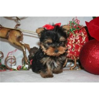 Teacup male and female Yorkie puppies for sale./././