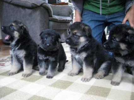 4 German Shepherd Puppies for Sale.