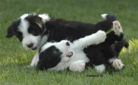 bearded collie Puppies for adoption.,,..,.,./