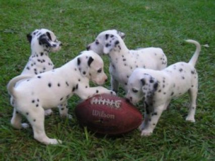 home raised dalmatian puppies now ready for a new home....