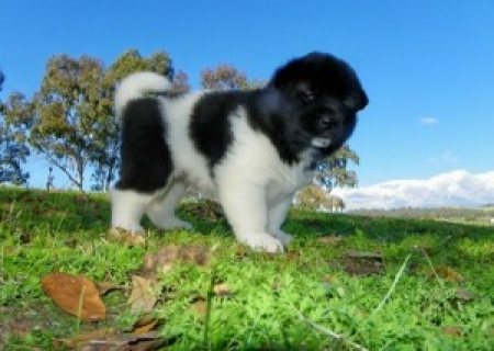 both young male and female Akita Puppies for sale...
