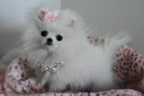 Awesome Pomeranian puppies for sale