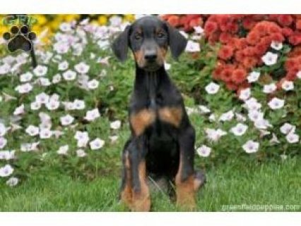 Doberman Puppies for sale...........,..,,
