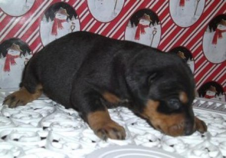 Cute male and female Doberman Puppies for Sale.......