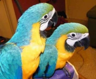 Two Blue and Gold Macaws parrots for sale..