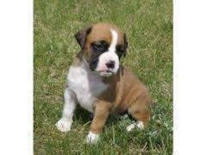cute male and female boxers pups for sale