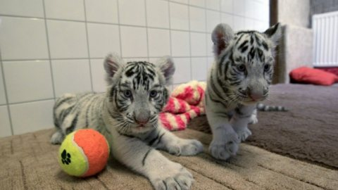 Pure White Tiger Cubs available