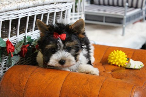 X-MASS Adorable Yorkie puppies for x mass adoption Email Me Now