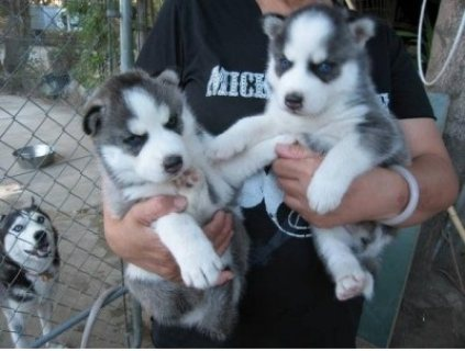 Gorgeous AKC Siberian Husky Puppies
