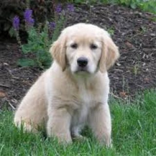 صور Adorable Male And Female Golden Retriever Puppies 2