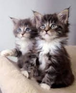 Adorable male and female main coon kittens for sale...