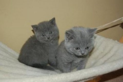 Cute male and female British shot hair Kittens for sale