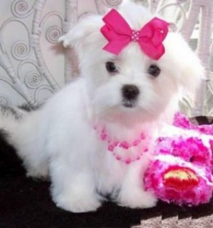 صور Lovely T-Cup Maltese Puppies Available for sale 1