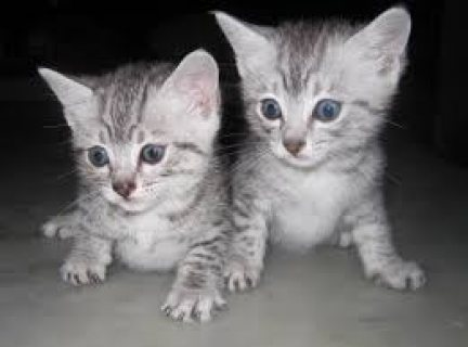 Adorable male and female Egyptian Mau kittens for sale