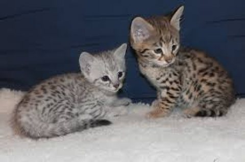 Lovely Male and female Savannah kittens ready for sale