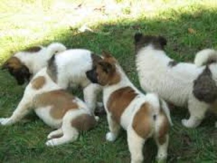 Adorable Akita Puppies for sale,...,.,