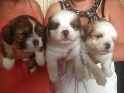 Cute and loving Lhasa apso puppies for adoption