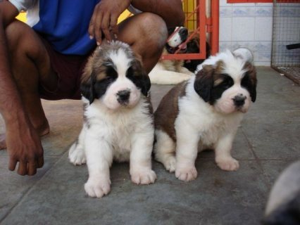 صور Saint Bernard Puppies for sale... 1