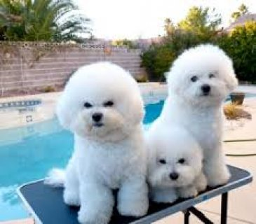 صور Three Adorable Bichon Frise puppies for sale 1