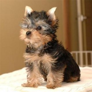 Talanted Trained Teacup Yorkie Puppies For Adoption.